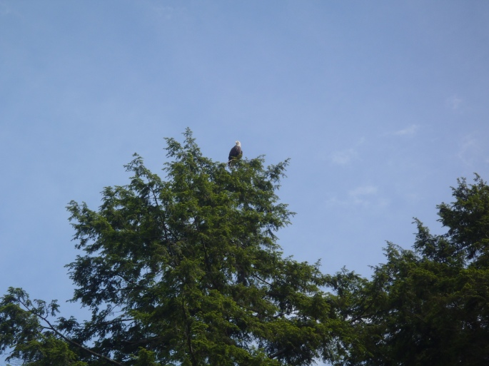 One of the bald eagles we saw while kayaking