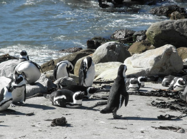 Penguin Colony at Betty's Bay