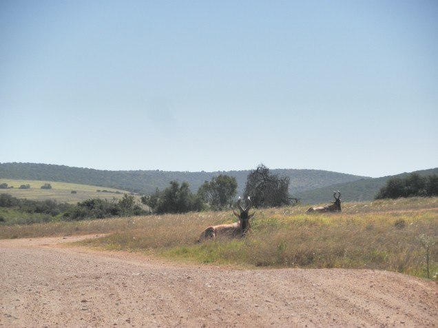 Elands at Addo Elephant National Park