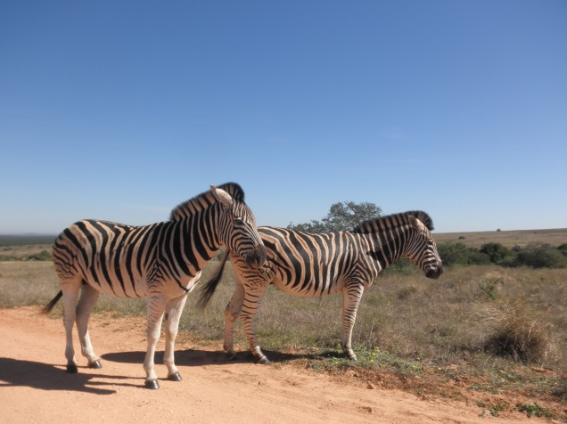 Zebras at Addo Elephant National Park