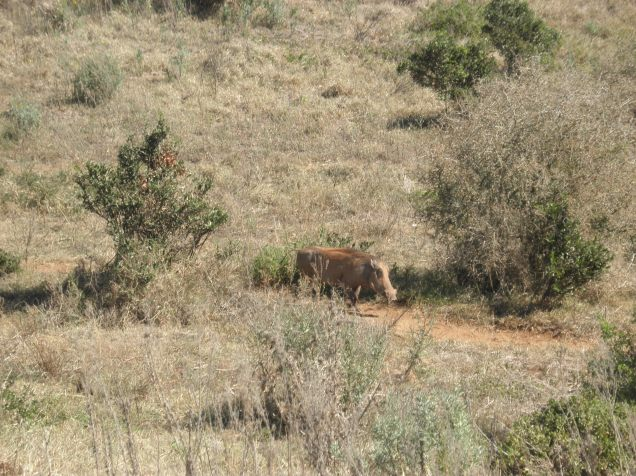 Wart hog at Addo Elephant National Park