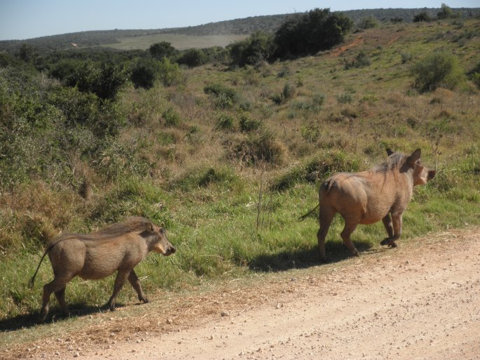 Wart hogs at Addo Elephant National Park