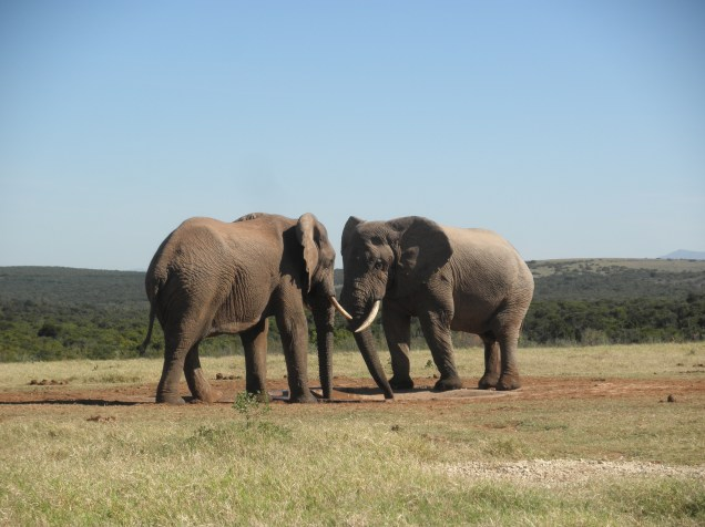 Elephants at Addo Elephant National Park