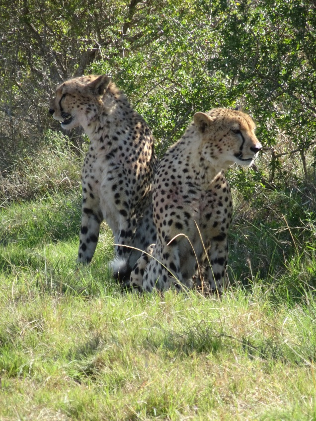 Leopards at Addo Elephant National Park