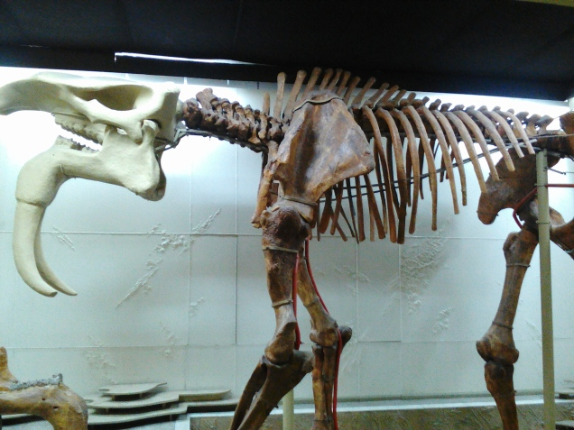 """The Deinotherium, commonly called """"hoe tusker"""" was a prehistoric mammal resembling an elephant- this is the largest skeleton of a Deinotherium in the world, and was found in Moldova"""