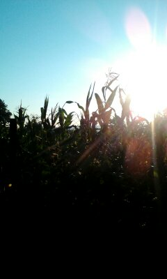 Early morning sunrise over the corn