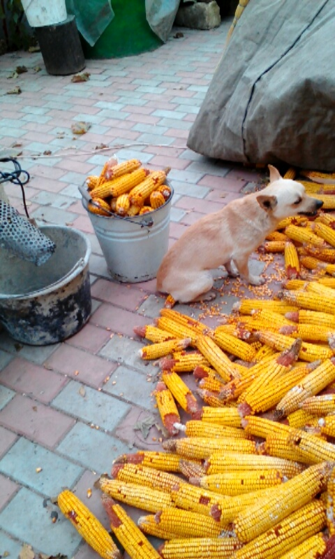 Rochie sneaks some bites of the corn while my host dad isn't looking.